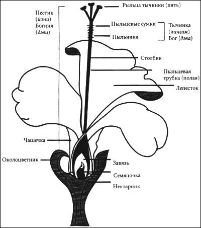 Гибискус — род растений из